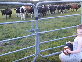 cow serenade