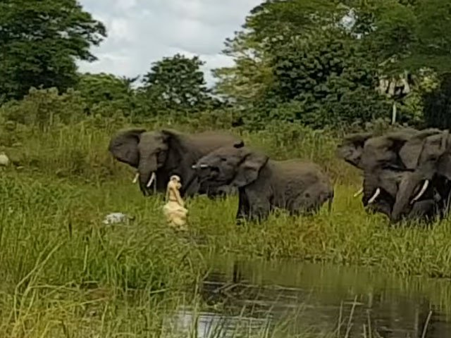 Elephant gets backup in struggle with trunk-biting crocodile