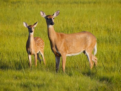 Girl, 8, eats a deer's 'still-beating' heart