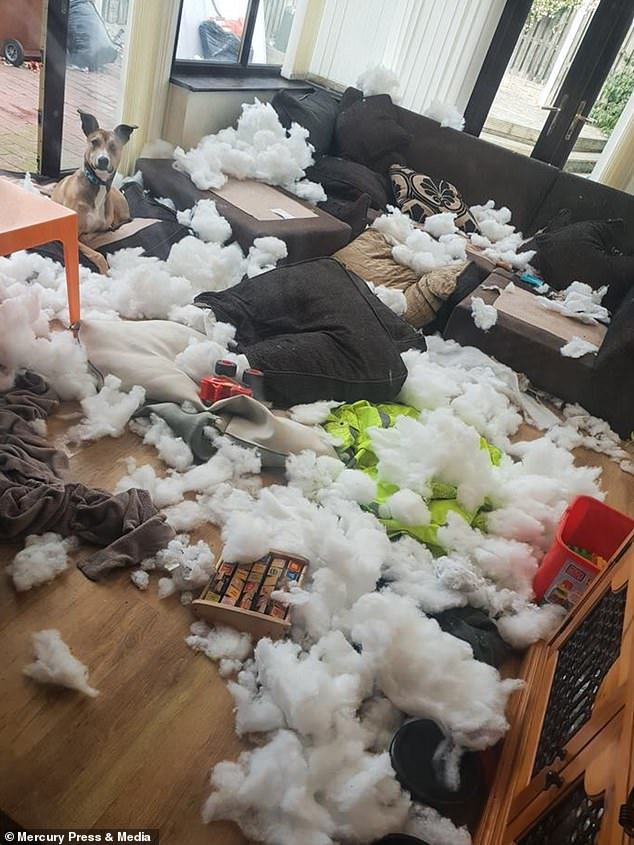 dexter the lurcher sits on the destroyed sofa