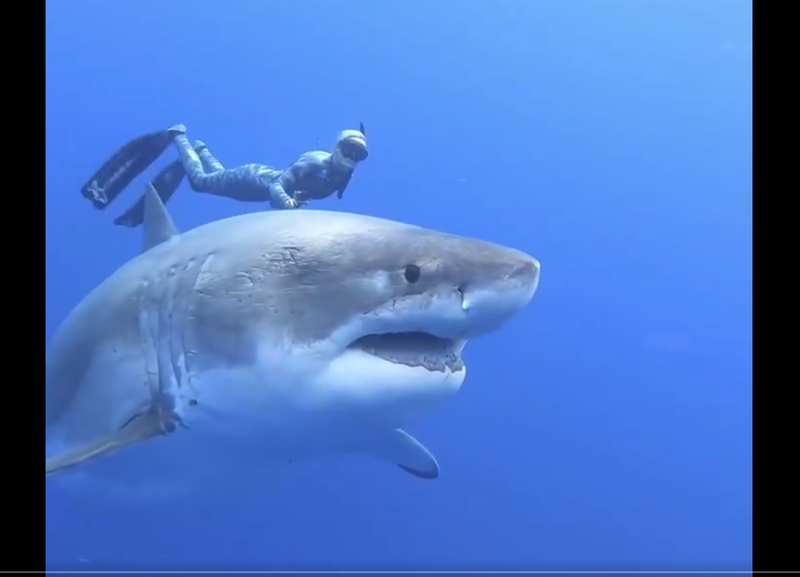 diver swimming with great white shark