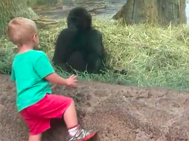 A child and gorilla playing hide-and-seek will melt your heart