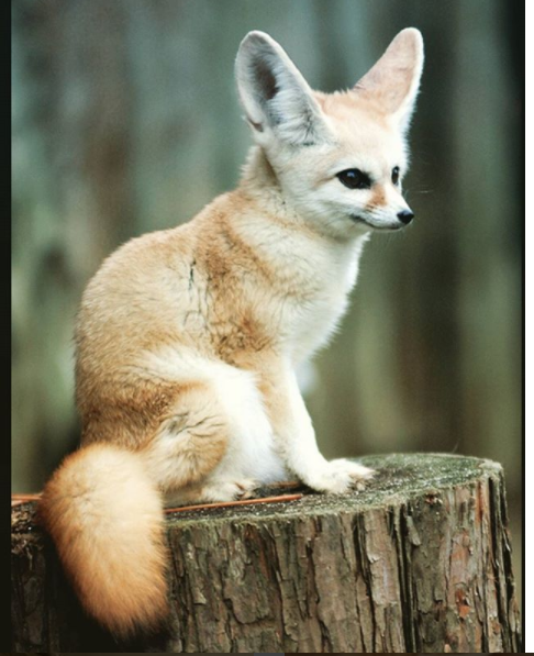 Could This Be The Most Adorable Fox On Earth