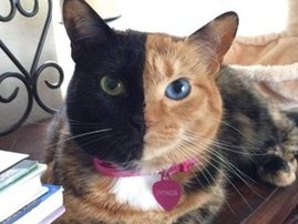Meet Venus the 'two-face' cat
