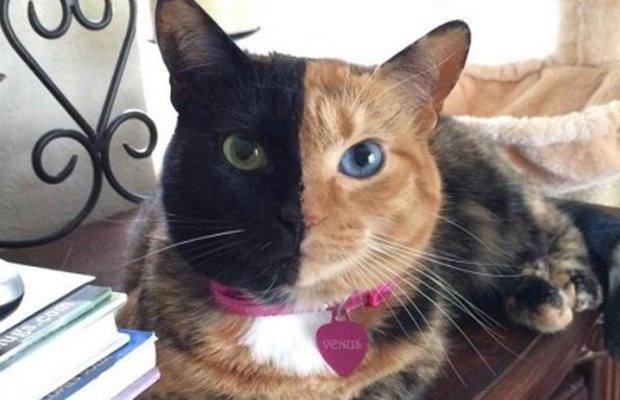 Meet Venus the 'two-face' cat