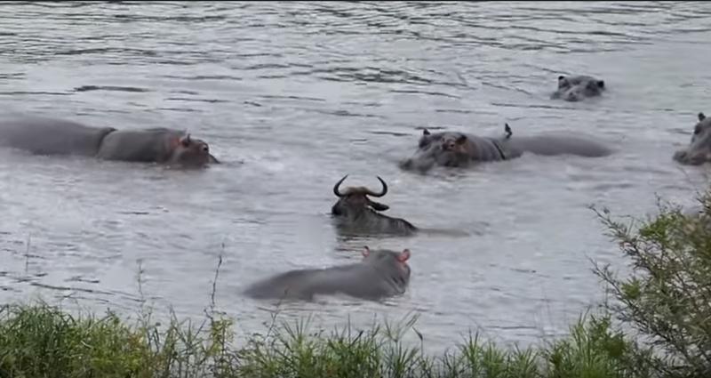 hippo x wildebeest