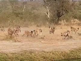 hyenas harass lions