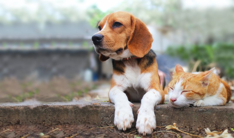 Beagle dog and brown cat lying together on the footpath / iStock