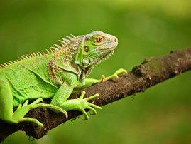 Iguana creature