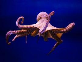 Agressive octopus