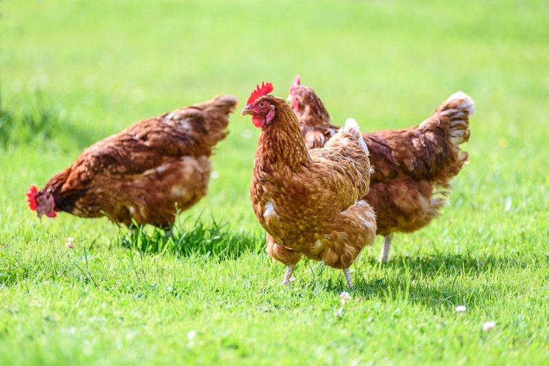 istock farm chicken riversmead