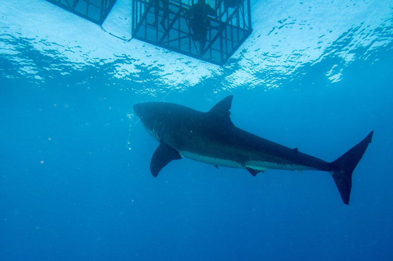 Shark cage diving / iStock