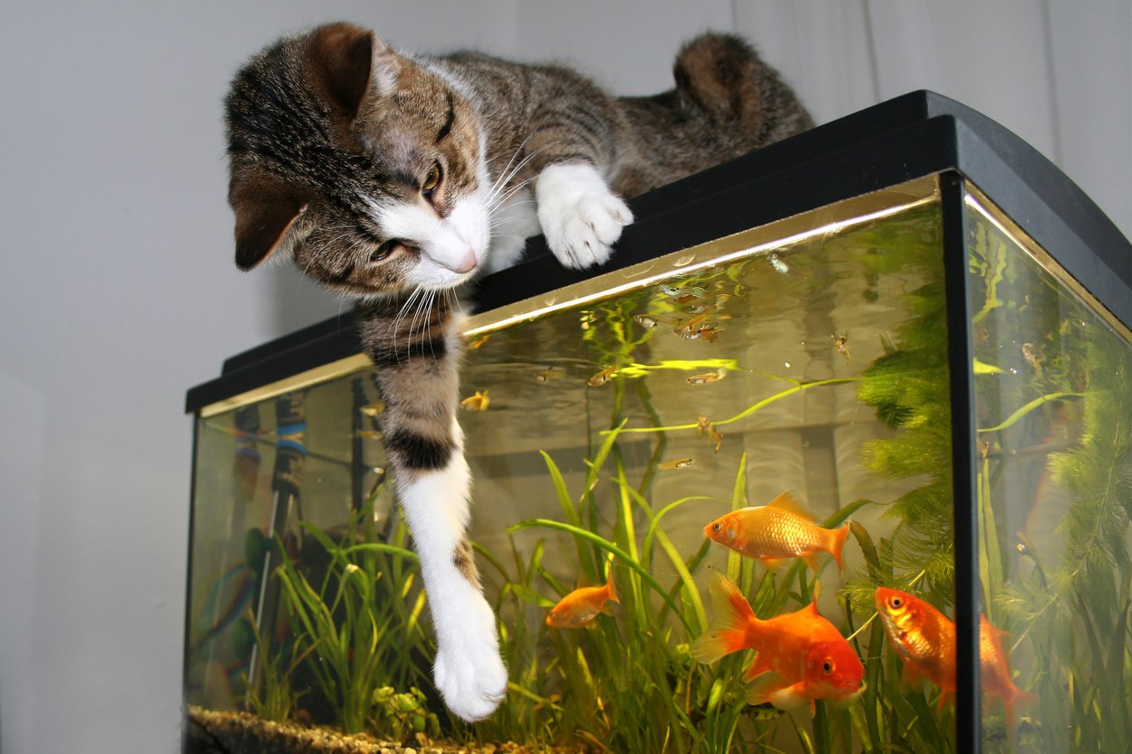 Five ways to keep your family 39 s pet fish alive for Cat proof fish tank