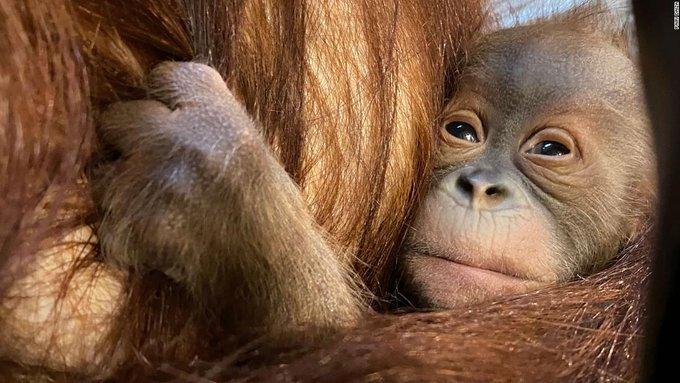 Sumatranorangutan