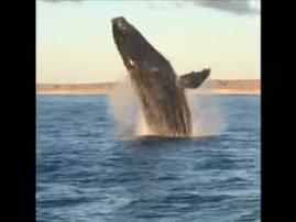 image whale breaching near boat