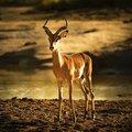 Impala SANPArks