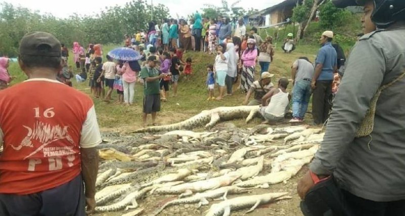 4ecf3d696248 Indonesian mob slaughters  hundreds  of crocs in revenge attack
