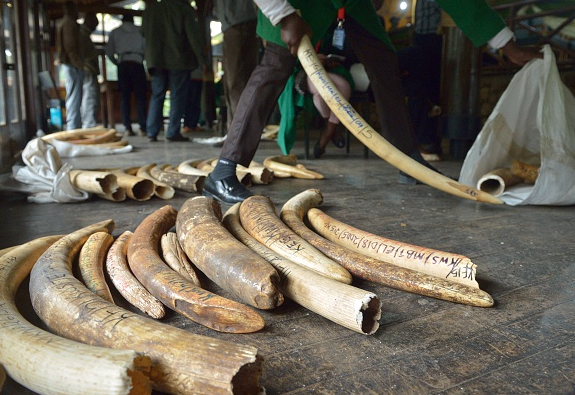Illegal Ivory Seized In Vietnam The letaba elephant hall at kruger national park, south africa displays most of the magnificent seven skulls, the great tuskers of kruger. jacaranda fm