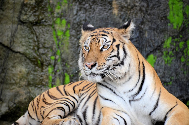 tigress in a forest