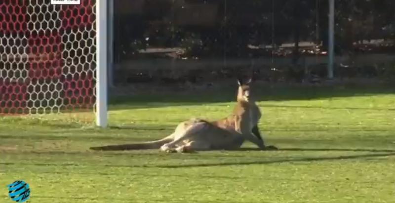 kangaroo on pitch