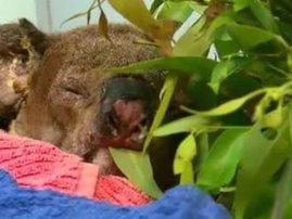 lewish the koala