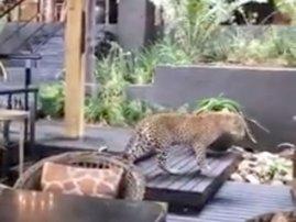 Leopard breakfast