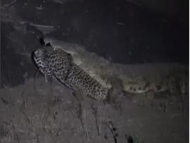 leopard loses to crocodile