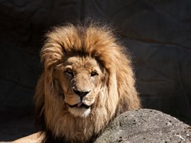 Male Lion the late show