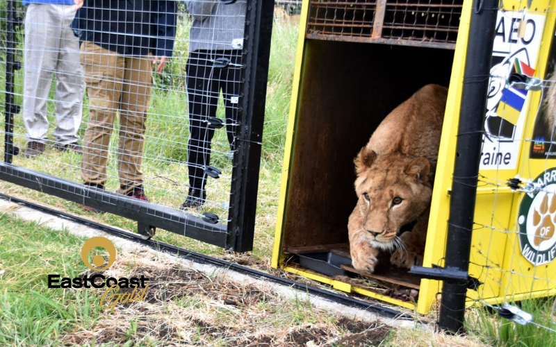 Lions returned to Africa, touch grass for first time