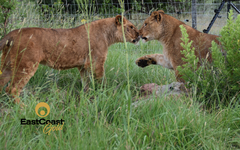 Lions rescued from Ukraine