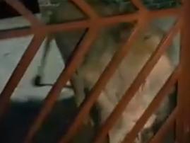 lion image cat protect farm
