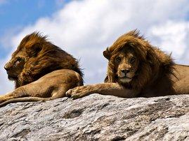 lion on rock image