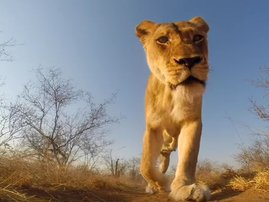 Lion Kruger Park