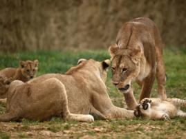 Lions, wild animals
