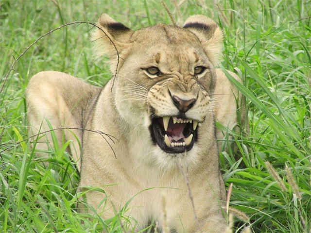 Boy, 12, mauled to death by lions in Free State