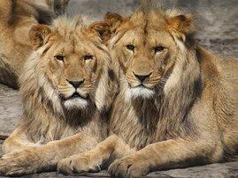 Lions pixabay.com