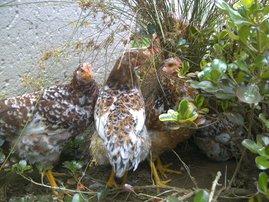 Martin Bester chicken image
