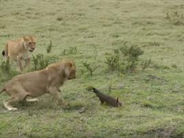 mongoose v lion