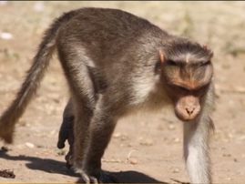 monkey bites baby