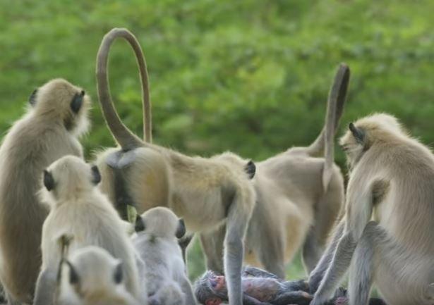 Heartbroken Monkeys Grieve Over 'Dead' Robotic Spy Baby