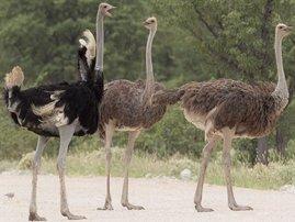 ostrich_wikipedia.jpg