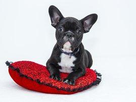 pet image spoil french bulldog
