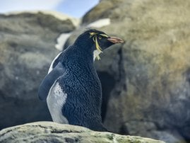Penguin with arthritis gets shoes to provide relief