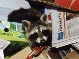 raccoon mess
