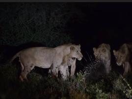 porcupine v lion