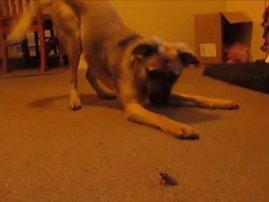 Adorable puppy meets a tiny bug for the first time