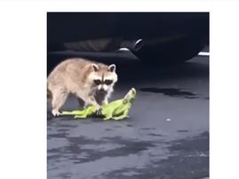 raccoon v iguana