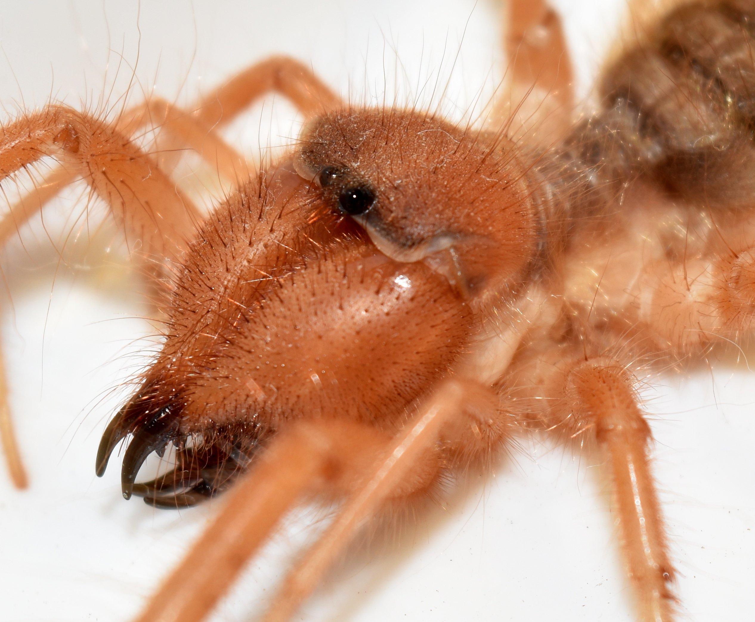 Red roman spider