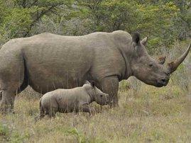 rhino-poaching-south-africa-increase_311.jpg