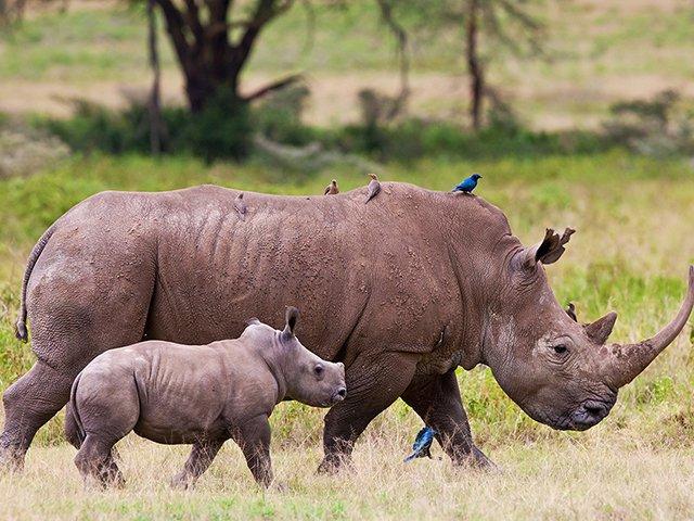 Rhinos - generic image